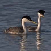 Pair of breeding adults