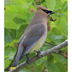 Note: brownish yellow body, white undertail coverts, and yellow tip to tail.